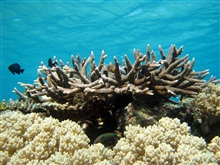 Acropora sp. and octocoral (likely Cladiella sp) in foreground