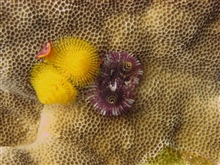 Porites sp. coral with Christmas tree worms (Spirobranchus giganteus).