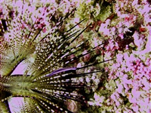 Diadema sea urchin with small fish on spine.