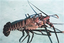 Spiny lobster (Panulirus sp.)