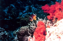 Two-banded clown fish (Amphiprion bicinctus)