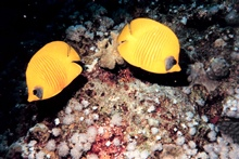 Masked or blue cheek butterfly fish (Chaetodon semilarvatus)