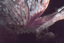 A feather duster worm