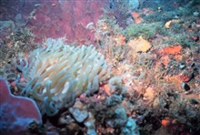 A reef scene with a large anemone in the left foreground