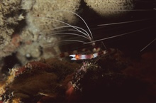 Banded Coral Shrimp (Stenopus hispidus)