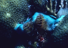 Christmas tree worms (Spirobranchus giganteus)