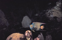 Queen angelfish - Holocanthus ciliarus