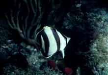 Banded butterflyfish (Chaetodon striatus)