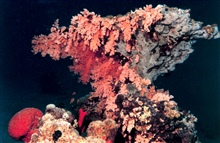 Orange soft coral and red elephant ear sponge on coral rock outcrop