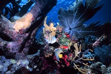A reef scene with a sergeant major fish and an angelfish.