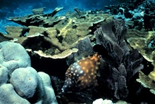Elkhorn coral and a white-spotted filefish.