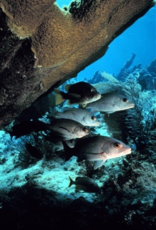 Gray snappers at the reef.