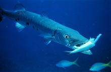 Barracuda dining on another luckless inhabitant of the reef.