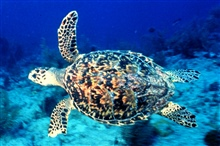 A hawksbill turtle swimming.
