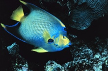 Queen angelfish at the reef.  1987 Florida Keys National Marine Sanctuary Photo Contest entry.