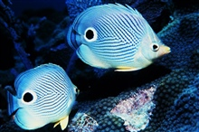 Two four-eyed butterfly fish.  1987 Florida Keys National Marine Sanctuary Photo Contest entry.