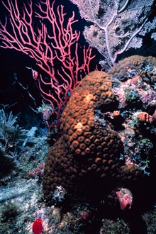 Reef scene with sea rods.