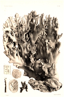 Figures 1-6, Millepora alcicornis Lamarck.In:  Report on the Florida Reefs, 1880, by Louis Agassiz.  Memoirs of theMuseum of Comparative Zoology at Harvard College, Vol. VII, No. 1.  Plate XX.These plates help document the oldest studies of the Flori