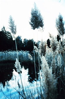 Phragmites, or common reed - although scenic, can be invasive nuisance species.