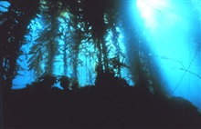 Gazing upward in a giant kelp forest