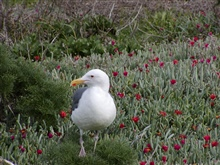 A Western Gull (Larus occidentalis)