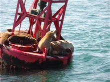 Buoy riding California sea lions (Zalophus californianus).