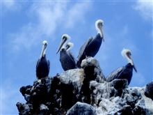 Brown pelicans (Pelecanus occidentalis).