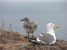 California gull (Larus Californicus) and chick.