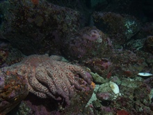 Sunflower sea star (Pycnopodia helianthoides) and shell hashin sandy boulder habitat at 30 meters depth.