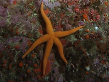 Sea Star (Henricia leviuscula) up close on rocky reef habitat