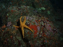 Sea star (Asterina sp.) up close in rocky reef habitat at 90 meters depth.Latitude 38 04 N., Longitude 123 28 W.