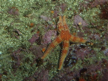 Sea star (Asterina sp.) up close in rocky reef habitatat 31 meters depth.  Latitude 37 41 N., Longitude 123 00 W.