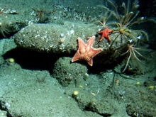 Feathered crinoids (Florometra serratissima) and bat starsin sandy boulder habitat at 115 meters depth.Latitude 38 02 N., Longitude 123 29 W.