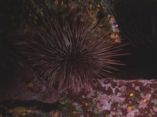 Red sea urchin (Strongylocentrotus franciscanus).