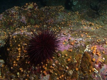 Red  Sea Urchin (Strongylocentrotus franciscanus) and cup coralon boulder in reef habitat at 30 meters depth.