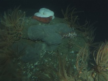 Unidentified tunicate, rockfish and other invertebrates on boulderin soft bottom habitat.