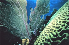 Brain coral and a sea fan