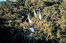 Great egret using mangrove trees as roosting site