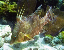 Juvenile hogfish have slightly different color patterns than adults.  Bothadults and juveniles have three prominent dorsal spines and a black blotch nearthe tail.