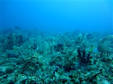 Soft corals, algae, fish  ( a doctorfish and butterflyfish), and sponges ina highly diverse reef scene.