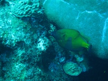 American whitespotted filefish swimming upside down. See image sanc0439.