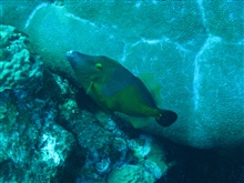 American whitespotted filefish swimming rightside up.  See image sanc0438.