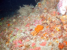 A sponge-dominated area of deepwater habitat at MacNeil Bank.