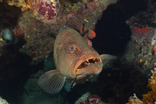 A tiger grouper being cleaned by a neon goby near coral.