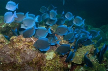 A school of blue tang swim about the reef.