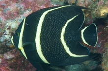 Juvenile French angelfish feeding on coral