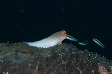 A redlip blenny perched on the reef.