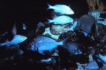 A mixed school of Porgy and other fish species