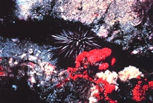 Rock boring sea urchin