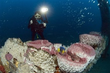 Diver conducting video survey with large sponges and juvenile queenangelfish.